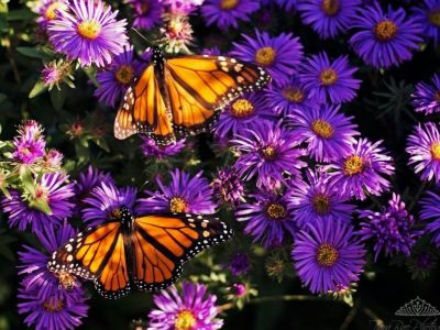 Monarchs and Daisies