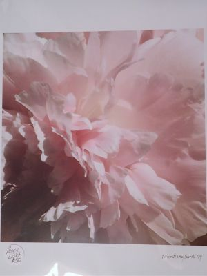 Peony Photo by D Armstrong Farrell