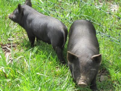 Two Live Pigs for Meat or Pets