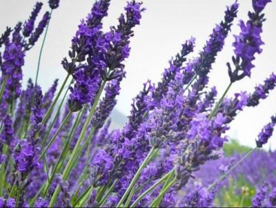 Luxuriate in Lavender: A Small Group Lavender Wand Making Experience