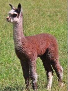 Alpaca Products from Crowley Ranch