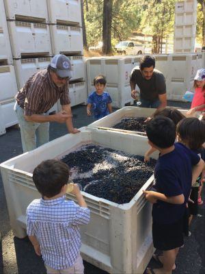 Grape Stomp at Miraflores Winery