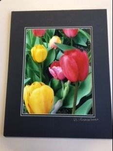 Matted Photo Tulips in Boston Public Garden