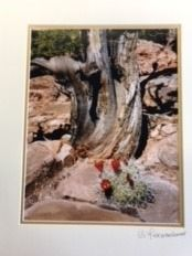 Matted Photo Desert Cedar and Claret Cup Ca...